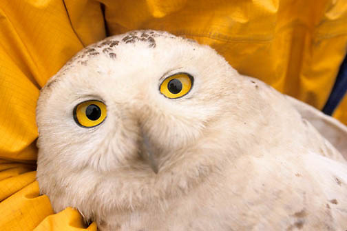 Snowy Owl, (Nyctea scandiaca) Female being prepared for satellite transmitter. Barrow, Alaska.