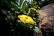 Yellow Hibiscus flower, Kealakekua Bay, Island Of Hawaii