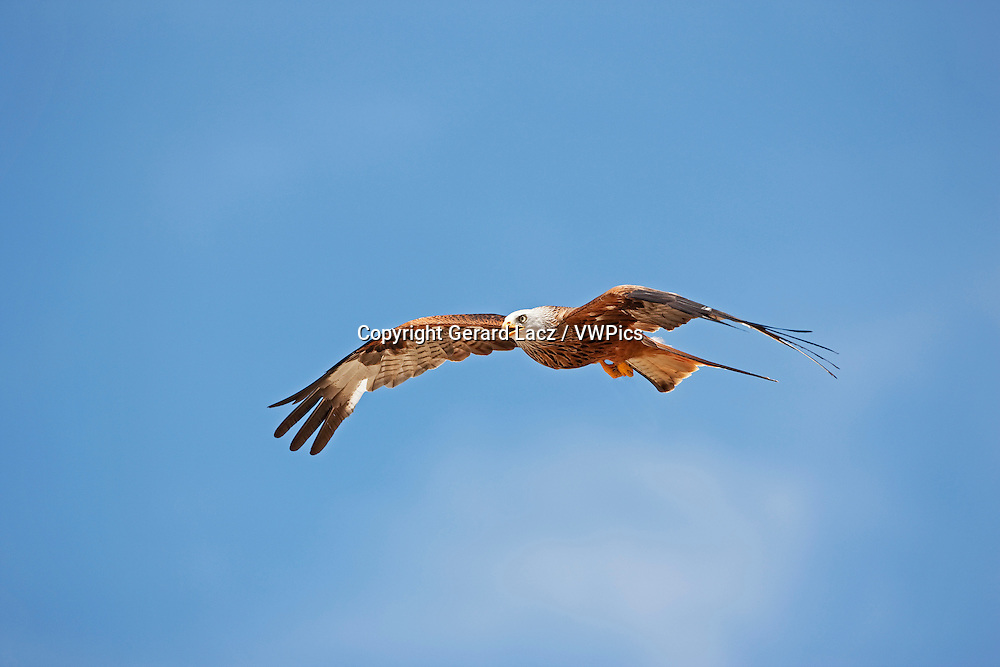 Red Kite, milvus milvus, Adult in Flight against Blue Sky