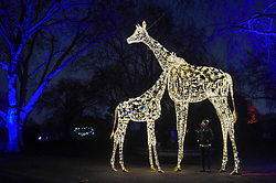 "© Licensed to London News Pictures. 22/11/2018. LONDON, UK. A staff member poses with illuminated giraffes. Preview of the first ""Christmas at London Zoo"", a festive transformation at ZSL London Zoo which features a one-mile illuminated pathway in a magical after-dark experience.  Historic buildings have been transformed for the event, with glowing fountains lighting the Grade I listed Lubetkin Penguin Pool and festive projections lighting up the historic Mappin Terraces.  The show runs 22 November to 1 January 2019.  Photo credit: Stephen Chung/LNP"