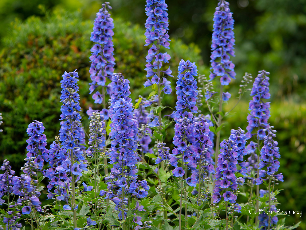 Delphinium 'Cassius' in the blue and white herbaceous garden at Cothay Manor, Greenham, Wellington, Somerset, UK