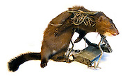 Icelandic mink