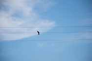 One dove perched on a power line with a perfect blue sky. Santa Monica, CA 10.3.14