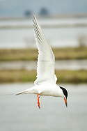 23 April 2016 Galloway USA // A Forster Tern hover over a spillway at Edwin B Forsythe National park. The Forster's tern (Sterna forsteri) is a member of the tern family, Sternidae. It breeds inland in North America and winters south to the Caribbean and northern South America.<br />