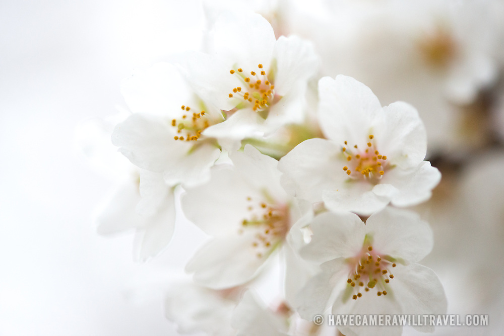 A close-up shot of the white flowers of the cherry blossoms in Washington DC.