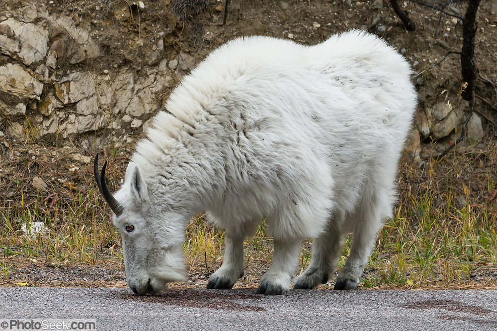 """The mountain goat (Oreamnos americanus, or Rocky Mountain Goat) is a large-hoofed mammal found only in North America. It is an even-toed ungulate in the family Bovidae, in subfamily Caprinae (goat-antelopes), in the Oreamnos genus (but is NOT a true """"goat"""" or Capra genus). Keystone, Black Hills, South Dakota, USA."""