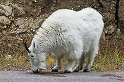 "The mountain goat (Oreamnos americanus, or Rocky Mountain Goat) is a large-hoofed mammal found only in North America. It is an even-toed ungulate in the family Bovidae, in subfamily Caprinae (goat-antelopes), in the Oreamnos genus (but is NOT a true ""goat"" or Capra genus). Keystone, Black Hills, South Dakota, USA."