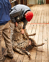 Sheep shearing demonstration at an Estancia in Patagonia. Image taken with a Nikon D3s camera and 50 mm f/1.4 lens (ISO 200, 50 mm, f/2.8, 1/30 sec).