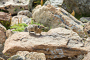 An American pika runs across a rock with a mouthful of wildflowers along a mountain slope in the Rocky Mountain National Park in Estes Park, Colorado.