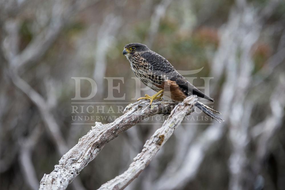 Falco novaeseelandiae (New Zealand falcon) southern form, Enderby Island Auckland Islands, 05 January 2016. Photograph Richard Robinson © 2016
