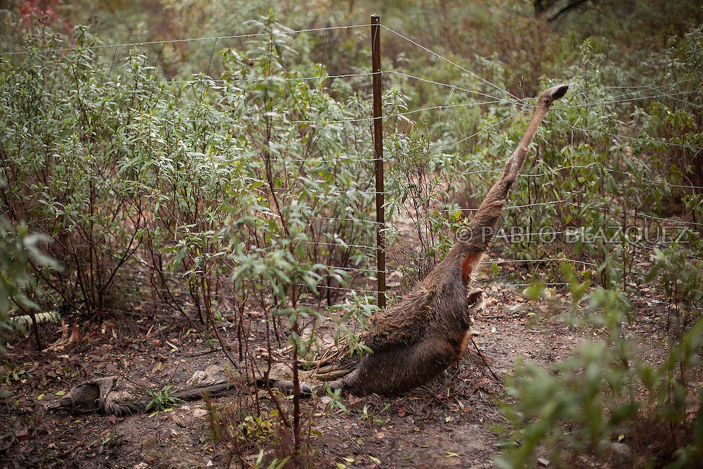 A deer appears dead after it was trapped by a fence when it tried to jump over it near Carbajo on January 19 2013, in Caceres Province, Extremadura, Spain. .Caceres has a well preserved natural environment. Plenty of its surface is dedicated to deers and wild boars hunting, making this, an important part of its economy. But most of the land belongs to large landowners. .In Carbajo, people gather three times a year to hunt deers and wild boars. In the past, they used to hunt for eating, but now days, they practice it as an sport and a social event. Then, they sell what the catch as wild game meat.