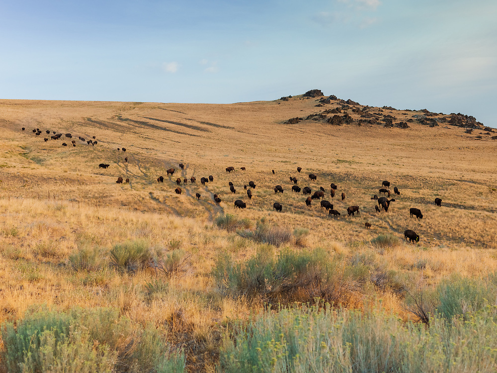 https://Duncan.co/antelope-island-bison