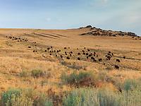 https://Duncan.co/antelope-island-bison