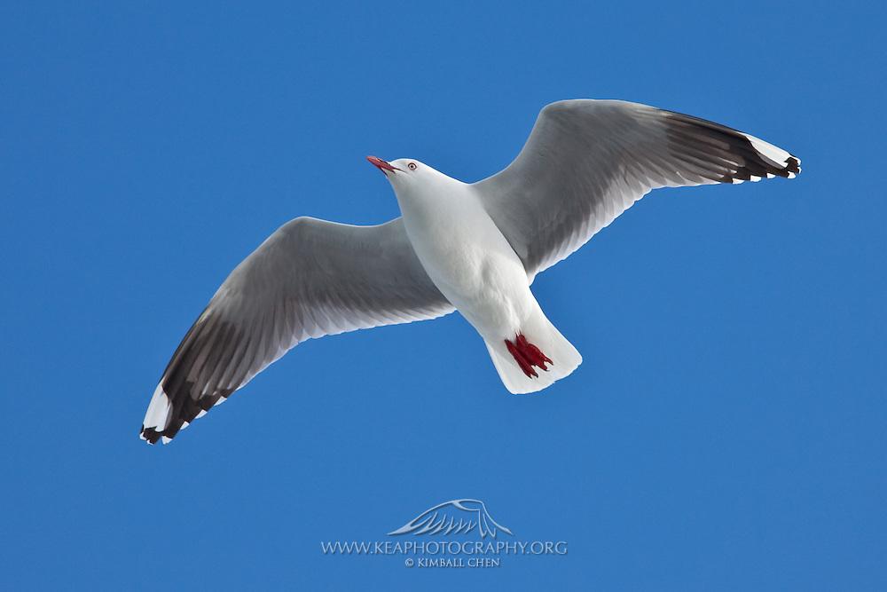 Red-billed Gull in flight, New Zealand