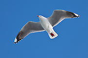 Red-billed Gull in flight, New Zealand