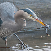 Great blue heron (Ardea herodias) at the Washington Park Arboretum, Seattle, Washington.  Photo by William Byrne Drumm.
