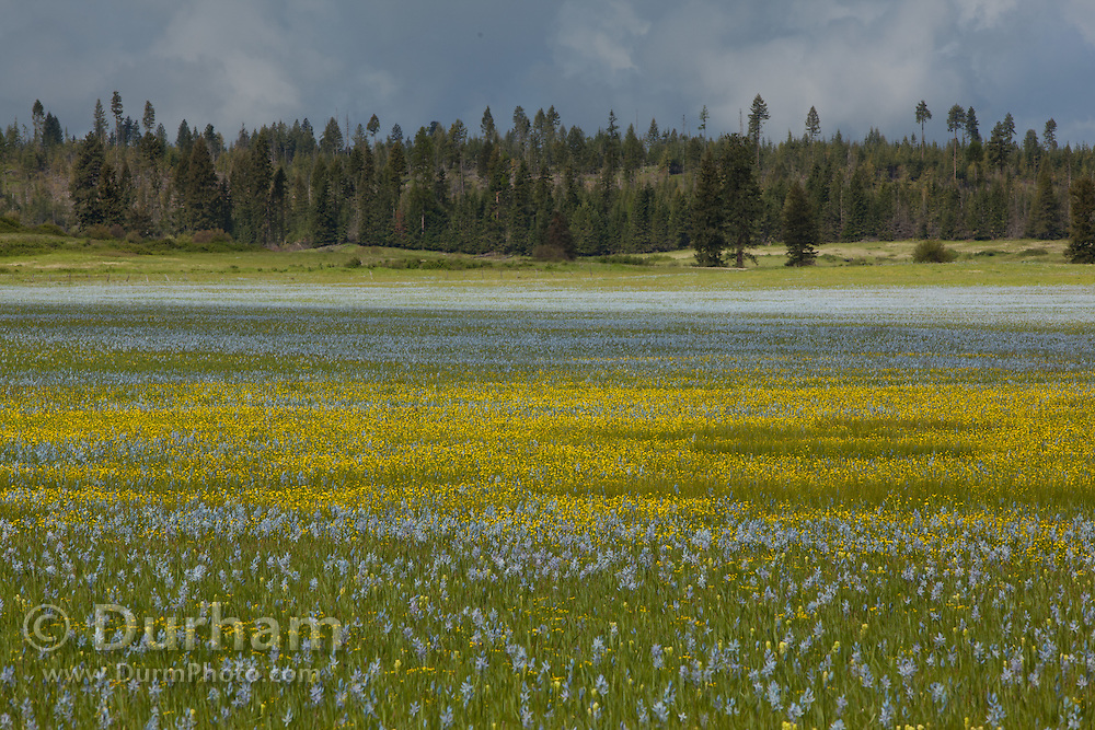 Blue camas flowers (Camassia quamash) and yellow western buttercup (Ranunculus occidental) blooming on Weippe Praire, Idaho. The bulbs of these plants are edible and are a valuable food source for the Nez Perce tribe. On September 20, 1805 the first members of Lewis and Clark's Corps of Discovery, including Clark himself, emerged starving and weak onto the Weippe Prairie. There they encountered the Nez Perce, who were attracted to the area by the abundant hunting, as well as the fields of camas flowers, whose roots were a staple of their diet.