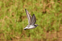 White-rumped Sandpiper photo Hawaii