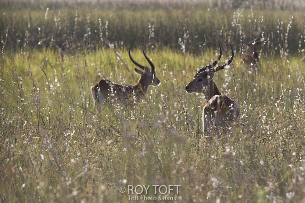 Two red lechwe standing in tall grass, Botswana