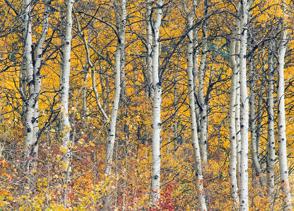Aspen trees in fall color Washington Cascades USA.
