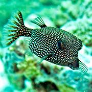 Solor Boxfish inhabit seaward reefs. Picture taken Triton Bay, West Papua, Indoneisa.