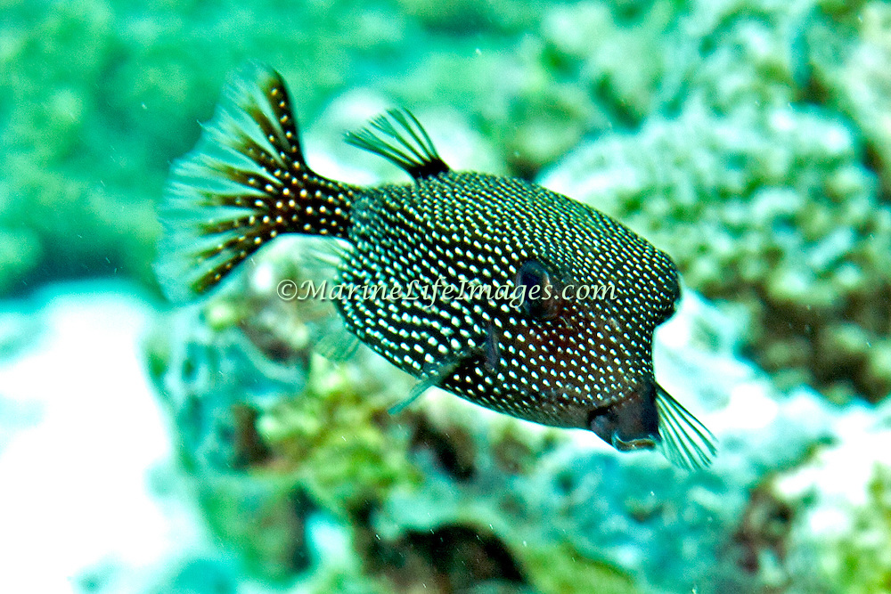 Solor Boxfish inhabit seaward reefs. Picture taken Triton Bay, West Papua, Indoneisa.
