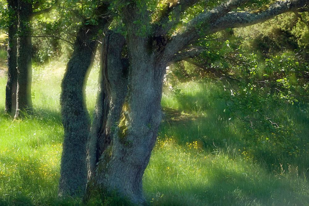 Common alder (Alnus glutinosa).<br /> L&aring;ngvikssk&auml;r, Stockholm Archipelago, Sweden