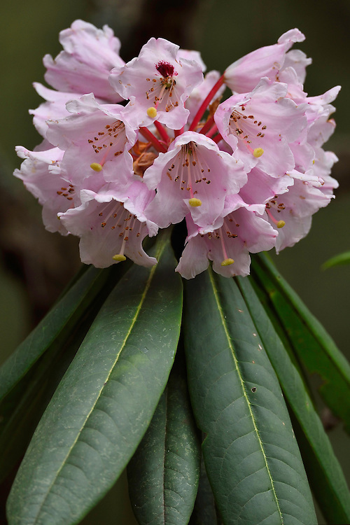 Rhododendron sp.Tangjiahe National Nature Reserve, NNR, Qingchuan County, Sichuan province, China