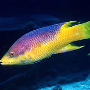 Caribbean Wrasse/Hogfish