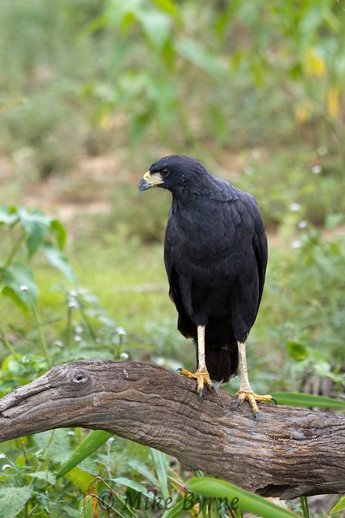 Great Black Hawk (Buteogallus urubitinga) perched on a branch near Araras Eco Lodge (Pantanal, Mato Grosso, Brazil)
