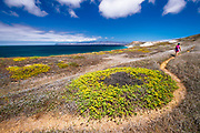 Wildflowers and hiker on the Skunk Point trail, Santa Rosa Island, Channel Islands National Park, California USA