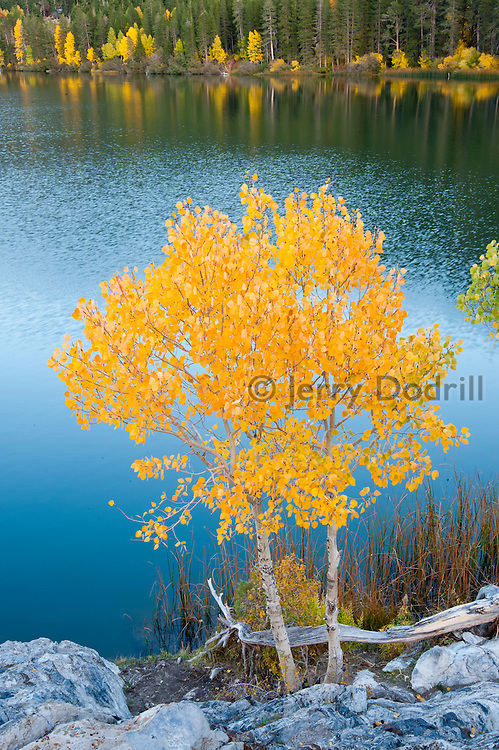 Aspen trees in autumn at Gull Lake, June Lakes Loop in the Inyo National Forest, Eastern Sierra Nevada Mountains, California
