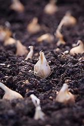 Dutch iris bulbs