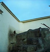 Warsaw Zoo, Poland, 12/12/2009. Macaca Cyclopis (Swinhoe, 1862).