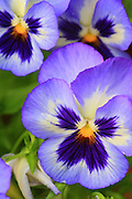 Purple pansies, Arlington, Virginia