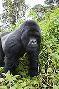 Mountain Gorilla<br /> Gorilla gorilla beringei<br /> Silverback<br /> Parc National des Volcans, Rwanda<br /> *Endangered species