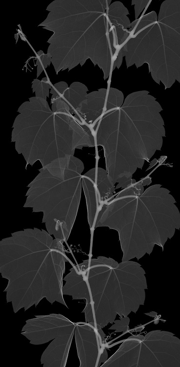 X-ray image of a Boston ivy strand, cropped (Parthenocissus tricuspidata, white on black) by Jim Wehtje, specialist in x-ray art and design images.