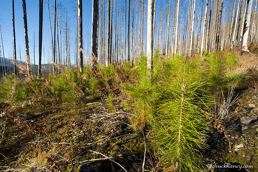 Tree Saplings Sprout up after Forest Fire in the Flathead National Forest, MT