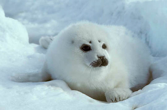 Harp Seal, (Pagophilus groenlandicus) White coat pup in ice cradle on ice pack. Spring. Nova Scotia. Canada.