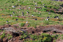 bird, Atlantic Puffin colony Fratercula arctica, Bonavista, Newfoundland CANADA