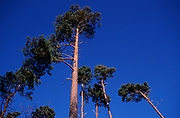 A5EXRA Tops of Corsican pine trees against deep blue sky