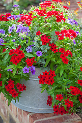 Phlox in silver galvanised container. Phlox 20th Century 'Blue' and 'Crimson'. Foliage of Euphorbia 'Hedgehog'