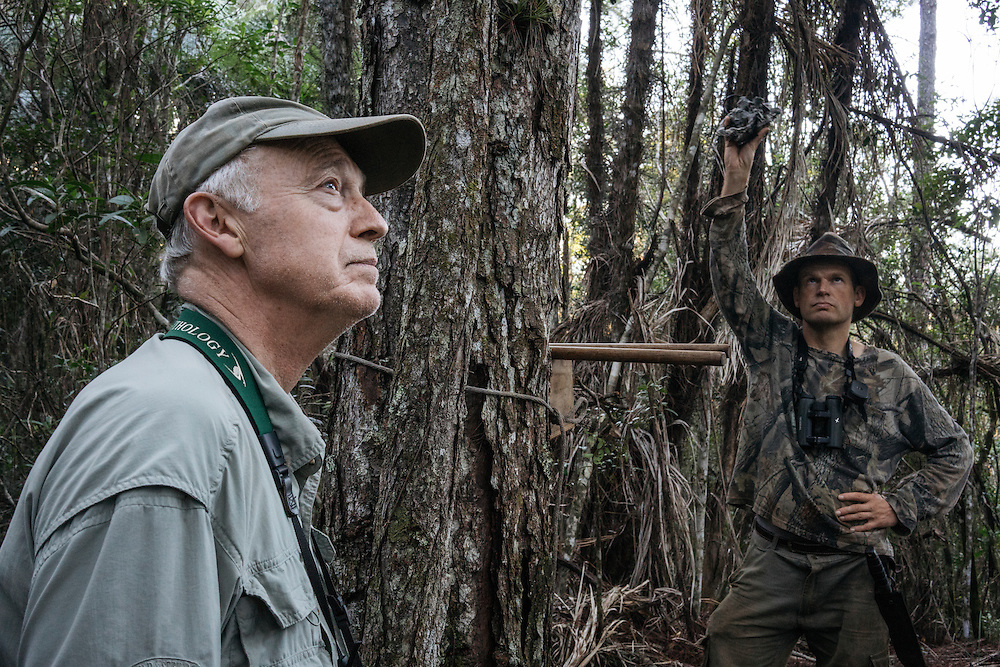 Ornithologists Martjan Lammertink and Tim Gallagher use the double knocker and feedback call to search for ivory-billed woodpeckers in Cayo Probedo inside Humbolt National Park in Eastern Cuba on Feb. 1, 2016.