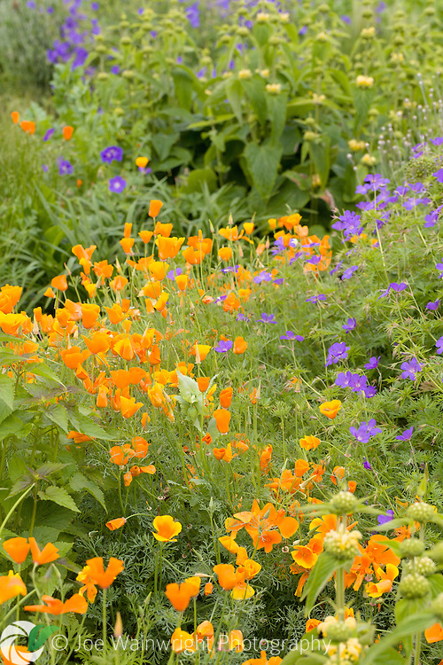California poppies snake past Geraniums in a herbaceous border at Bluebell Cottage Gardens, Cheshire - photographed in June