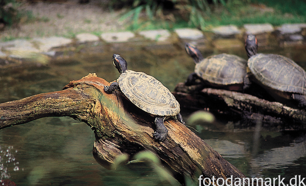 Turtles in Knuthenborg