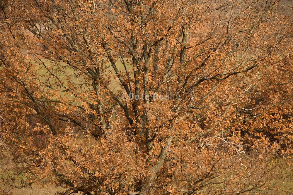 trees with brown leaves