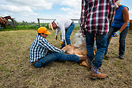 Rancher, John L. Moore, brands at his cattle branding, sister Deb Singleton vaccinates, Logan and Joey Peila wrestle calves, on Lazy TL Ranch, north of Miles City, Montana