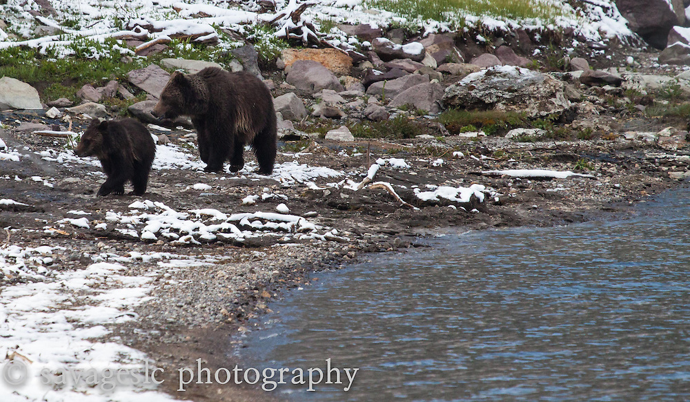 Mother grizzly and her cub along the shores of Yellowstone Lake.