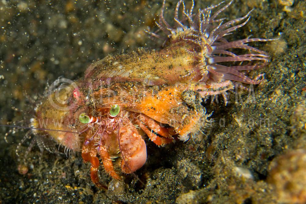 Alberto Carrera, Anemone Hermit Crab, Dardanus pedunculatus, Left-handed Hermit Crab, Lembeh, North Sulawesi, Indonesia, Asia