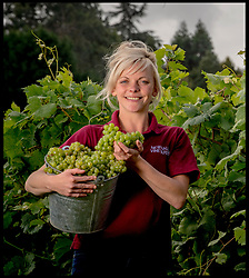 September 6, 2017 - London, United Kingdom - Lucy Winward of New Hall Vineyard, Purleigh, Essex, one of the oldest and largest family-run vineyards in England, picking Huxelrebe berries. The grape harvest at New Hall has started two weeks early this season due to an unseasonably warm start to the growing season and a consistently warm summer, unlike some wine-growing regions of Europe that have suffered damaging weather conditions, increasing the demand for English wine worldwide. (Credit Image: © Andrew Parsons/i-Images via ZUMA Press)